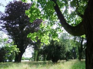 KN Büdinger Park Rüsselbaum_4 auf Rotbuche (Ahorn)